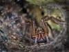 funnel-web-spider