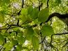 just-leaves
