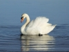 Swan by Geoff Osborne