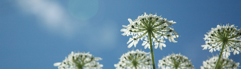 Callestick Cow Parsley by Nicola Bathe