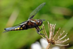 2016 – Ian Williams-Broad-bodied Chaser-Open – 2nd