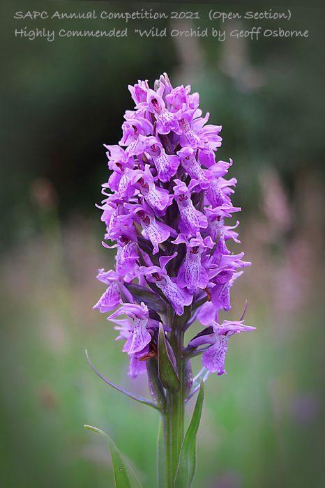 4_SAPC-O3-Geoff-Wild Orchid