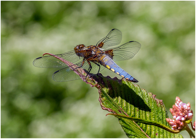 Broad-bodied Libellula Dragonfly on Leaf 2